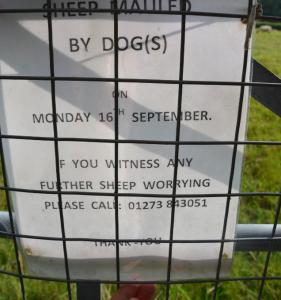 sheep_dog