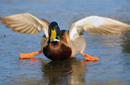 slidey-duck